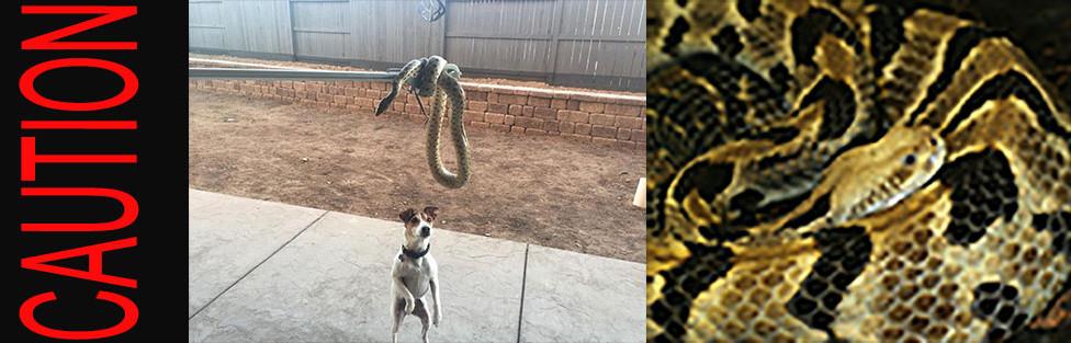 rattle snake alert